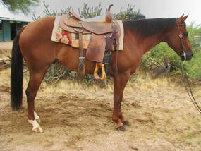 cow horse for sale
